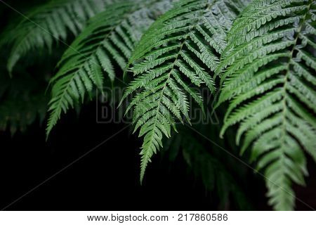Fern Leaves Background. A Fern In Rain Forest. Natural Green Fern In The Forest.