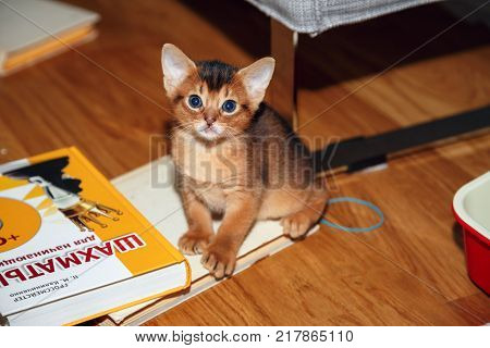 MOSCOW/ RUSSIA - DECEMBER 10, 2017. Abyssinian kitten playing with the books and making mess in the room.