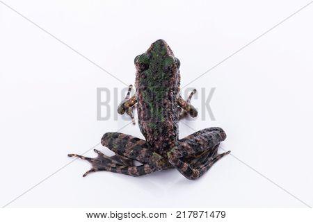 Odorrana schmackeri (Boettger 1892) : frog on white background Amphibians of Thailand