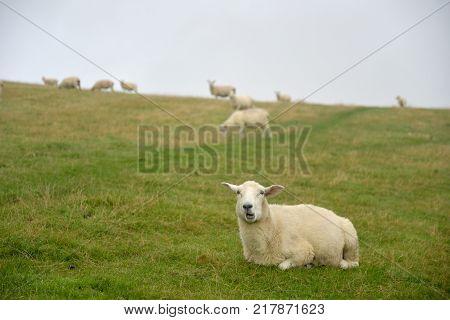 Sheep peering through mist on Countisbury above the Bristol Channel in Exmoor, North Devon