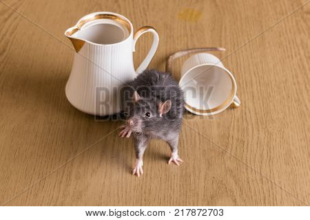domestic rat on the table with a tea set