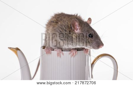 brown domestic rat sitting on a teapot