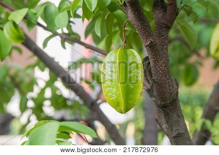 Carambola or Star fruit (shape like a star) on tree