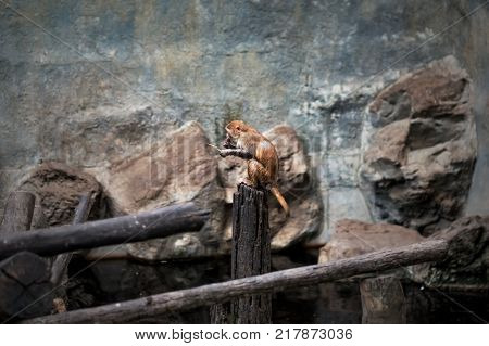Small orange monkey sitting in zoo. She is bored. No trees near