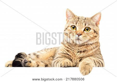 Portrait of attractive cat Scottish Straight lying isolated on white background