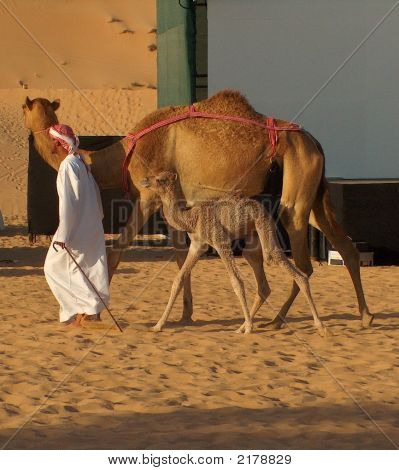 Man Walking Camels