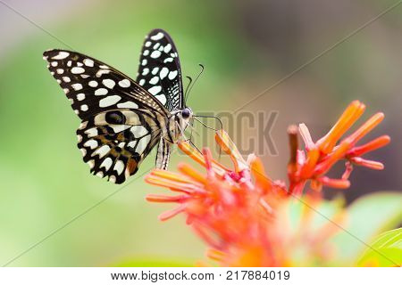 Papilio polytes, the common Mormon, is a common species of swallowtail butterfly widely distributed across Asia.