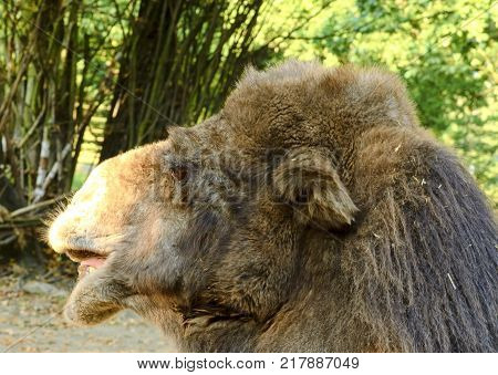 Bactrian Camel. Geographic Range: Its population of two million exists mainly in the domesticated form, wild camels Camelus ferus live only in Gobi and Gashun Gobi deserts of northwest China and Mongolia