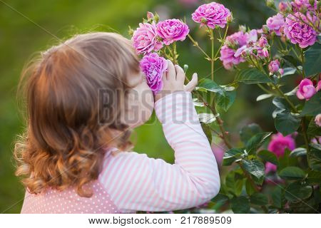 Adorable toddler girl smelling garden roses summer day.