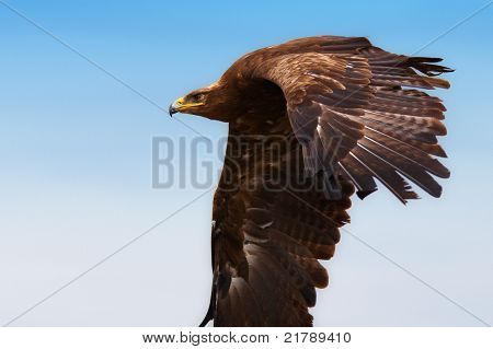 Steppe Eagle In Flight