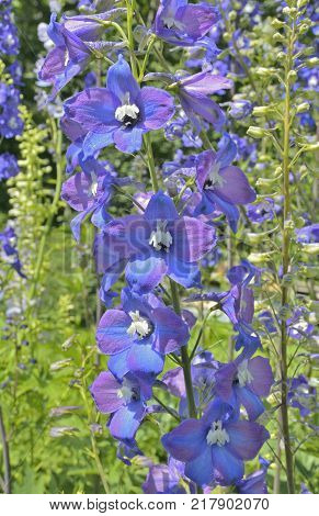 A close up of the flowers of delphinium.