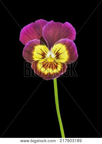 A close up of the small varigated flower violet. Isolated on black.
