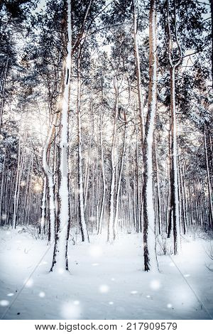 Tree pine spruce in magic forest winter with falling snow sunny day. Snow forest snowfall. Christmas Winter New Year background trembling scenery.