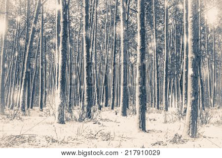 Old vintage photo. Tree pine spruce in magic forest winter with falling snow sunny day. Snow forest snowfall. Christmas Winter New Year background trembling scenery.