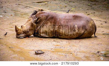 big rhinocerous is sleeping on the ground