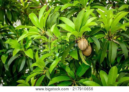 sapodilla plant with green leaf and fruits