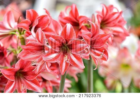Beautiful red white hippeastrum, amaryllis flowers in the garden.A beautiful bouquet of flowers.Dutch flowers.Beautiful composition