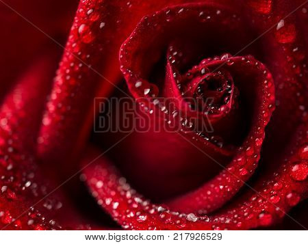 Close-up image of droplets on beautiful blooming red rose flower Selective focus and shallow DOF Valentine day concept