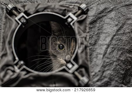 A beautiful young tri-colored cat is spying out of the round hole of the softbox as out of the porthole.