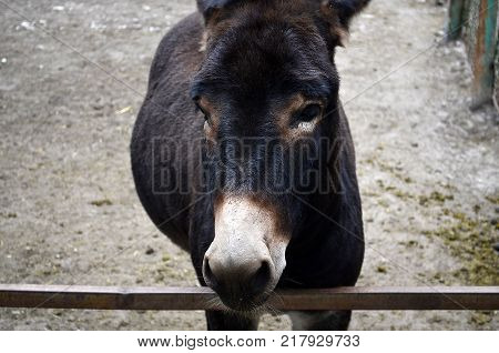 A domestic donkey, or an ass, is a domesticated subspecies of a wild donkey, which played an important historical role in the development of man's economy and culture