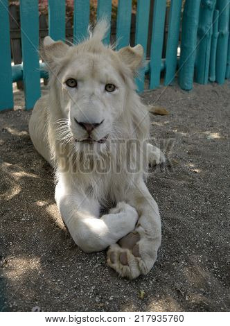 Lion is a species of carnivorous mammals, one of four representatives of the panther genus, belonging to the subfamily of large cats in the feline family.