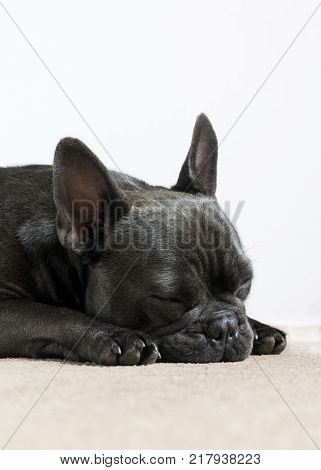 side view of a french bulldog sleeping napping on a cream carpet with a white background for the use of text and wording