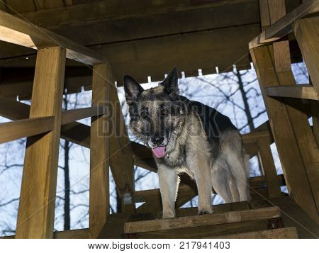A dog standing in hesitation on a top of wooden ladder, outdoor angled shot