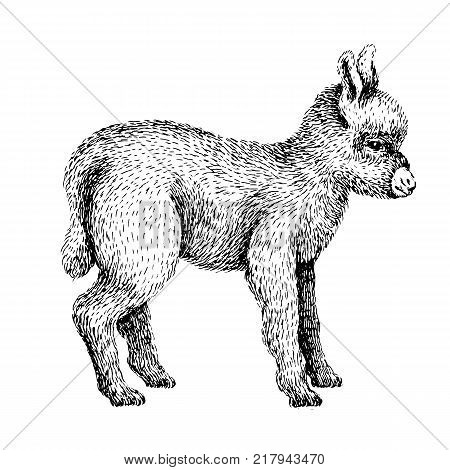 Baby farm animal. Domestic. Little cute baby donkey. Vintage style. Vector illustration. Hand drawn sketch line art image. BLack and white.