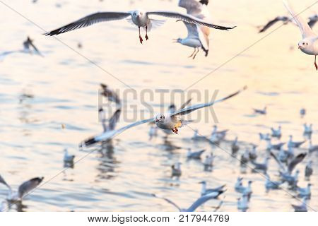 Seagulls flying above the sea.Freedom of a seagull over sea while golden water at sunset