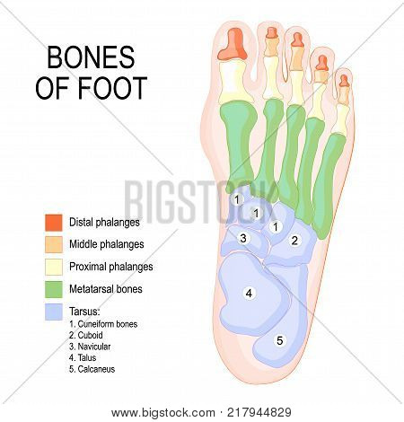 Bones of foot. Human Anatomy. The diagram shows the placement and names of all bones of foot.