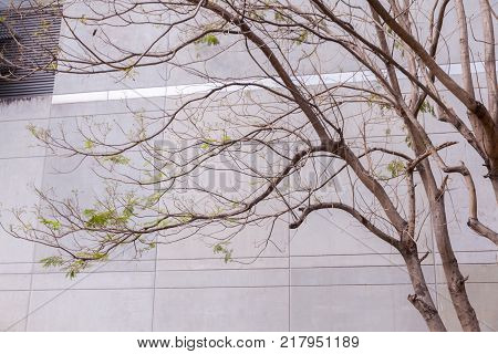 Dry tree and concrete wall at thailand
