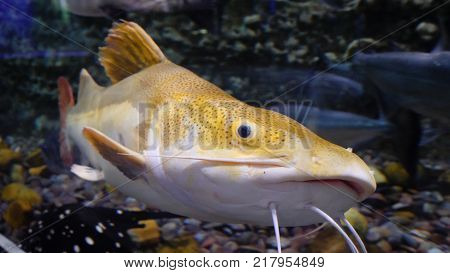Large Fishes Swimming In A Large Aquarium. Large Sea Fish Swim In An Aquarium. Aquarium With A Large