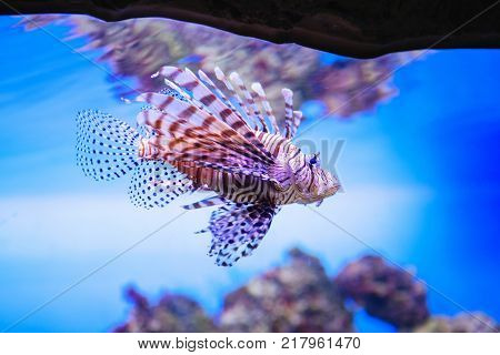 Beautiful And Dangerous Lionfish (pterois Miles)