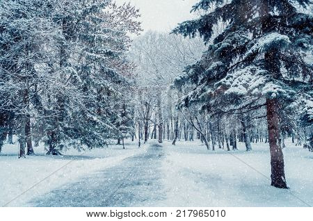Winter landscape. Snowy winter trees along the winter park under falling snow. Winter snowy scene with falling snowflakes. Snowy winter landscape, winter park during the snowfall. Park winter scene