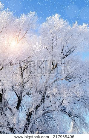 Winter background. Frosty branches of the winter tree against blue sky in sunny winter day. Forest winter trees, sunny cold winter nature. Snowy winter landscape