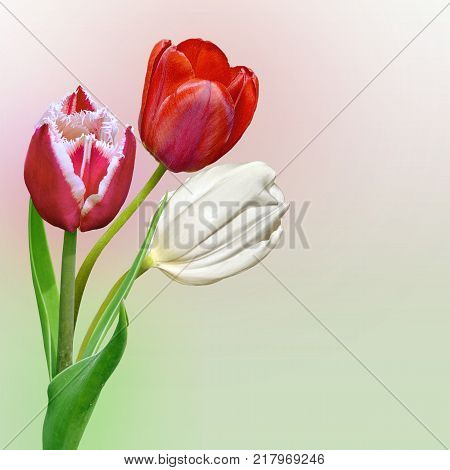 Three beautiful pink red and white tulip flowers close up on a gentle gradient background with spase for text - spring floral background for greeting card or invitation