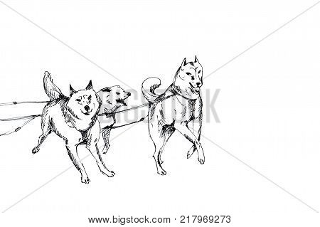 Hand drawn Husky run in harness on white background.  Sled dogs in harness. Northern huskies - hardy and strong. Team Husky sled in the winter.