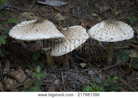 Macrolepiota sonsetas comestbles que se encuentran en los bosques.