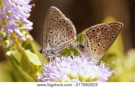 Copula de mariposas en el jardín de casa