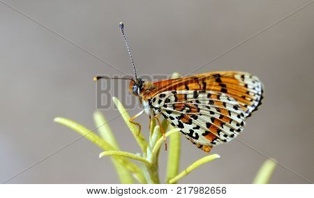 Mariposa naranja de Girona sobre el romero