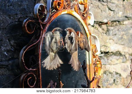 A male house sparrow with feet outstretched attacking his reflection in a rusty mirror