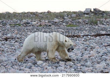 Polar Bear (Ursus Maritimus) walking along a rocky coast near Arviat, Nunavut Canada