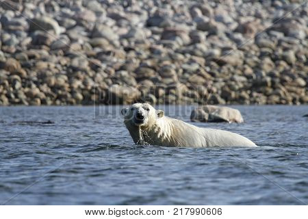 Polar Bear (Ursus Maritimus) swimming in the arctic ocean of Arviat, Nunavut Canada