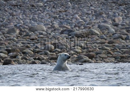 Polar Bear (Ursus Maritimus) playing in the arctic ocean of Arviat, Nunavut Canada