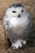 Snowy owl sitting on the ground open eyes poster