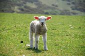 One playful lamb in springtime Sussex Downs UK poster
