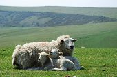 ewe and lamb relaxing in hills of Sussex Downs poster