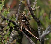 Bog Bush-cricket - Metrioptera brachytera In heather plant poster