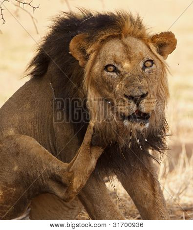 Old male lion with porcupine quills