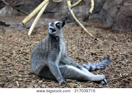 The Ring-tailed Lemur (lemur Catta)  Sitting In Enclosure